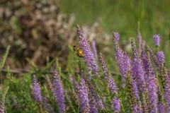 蜂和花粉在紫色野花 免版税图库摄影