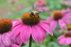 蜂和花粉 库存图片