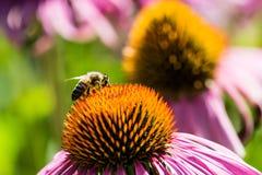蜂和花 图库摄影