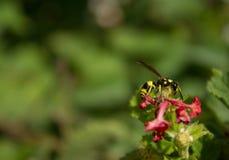 黄蜂和花 免版税库存图片