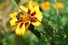 蜂和花 免版税库存照片