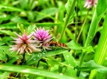 蜂和花 库存照片
