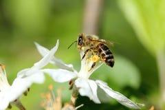 蜂和苹果开花 免版税库存图片