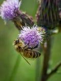 蜂和蓟 库存照片