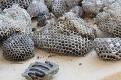 蜂和蝉巢  库存照片