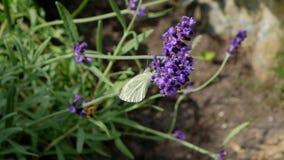 蜂和蝴蝶在花附近飞行 慢的行动 股票视频