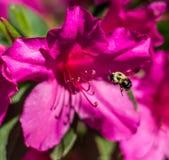 蜂和Azelea 免版税库存图片