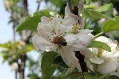 蜂和huney 库存图片