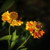 蜂在喷嚏菊 库存图片