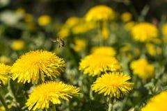 蜂在工作 免版税图库摄影