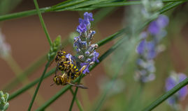黄蜂在庭院里在一热的天 库存图片