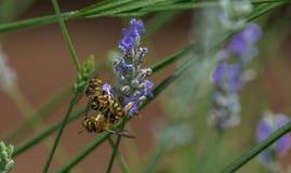 黄蜂在庭院里在一热的天 免版税库存图片