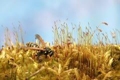 黄蜂在新鲜的绿色豪华的青苔的森林里 宏指令 免版税图库摄影