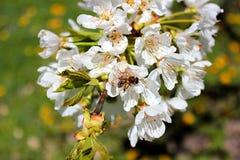 蜂在春天庭院收集花蜜 免版税图库摄影
