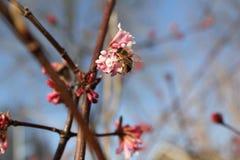 蜂在春天授粉一朵桃红色开花花 免版税库存图片