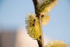 蜂在杏子开花的工作在春天期间 免版税库存图片