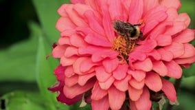 蜂在桃红色百日菊属的中心