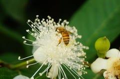 蜂在白花放置他们的头并且采摘蜂蜜 图库摄影