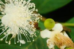 蜂在白花放置他们的头并且采摘蜂蜜 库存图片