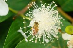 蜂在白花放置他们的头并且采摘蜂蜜 免版税图库摄影