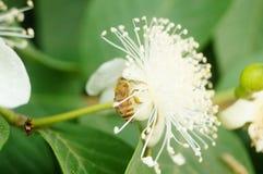 蜂在白花放置他们的头并且采摘蜂蜜 免版税库存照片