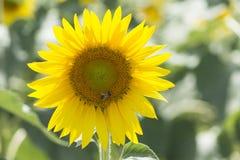 蜂在花哺养 免版税库存图片