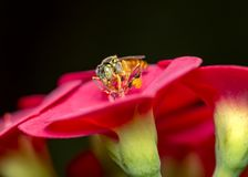 蜂在花宏观照片的Tetragonisca angustula -蜂Jatai/Tetragonisca angustula 库存照片