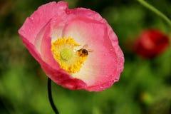 蜂在花工作 免版税库存图片