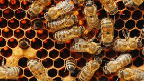蜂在蜂窝工作用蜂蜜,在蜂蜜的被处理的花粉 免版税库存图片