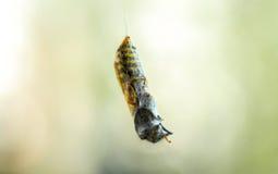 黄蜂在蜘蛛网黄色黑色的yellowjacket cought 免版税库存照片