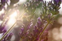 蜂在阳光下收集花粉在淡紫色开花 免版税库存图片
