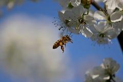 蜂在飞行中在甜樱桃前花  库存照片