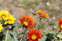 蜂在飞行中对花 免版税库存照片