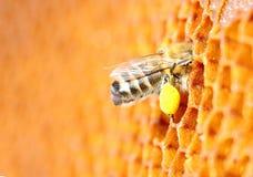 蜂在细胞的花粉组装 蜂窝 免版税图库摄影