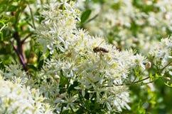 蜂在Sithonia收集polen从有美丽的白花的地中海植物在晴朗的早晨 免版税库存图片