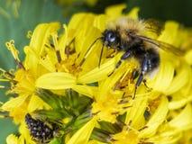 蜂坐一朵黄色花和收集花蜜宏指令 免版税图库摄影