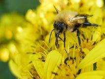 蜂坐一朵黄色花和收集花蜜宏指令 免版税库存照片
