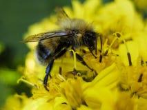 蜂坐一朵黄色花和收集花蜜宏指令 免版税库存图片