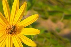 蜂坐与海胆亚目的长的瓣的一朵黄色花收集花蜜 库存图片