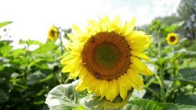 蜂坐向日葵的花 股票录像