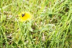 蜂坐在一个绿色草甸的一朵蒲公英花在一夏天好日子 特写镜头,选择聚焦 免版税库存照片
