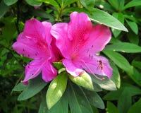 蜂坐开花的杜娟花的雄芯花蕊 免版税库存照片