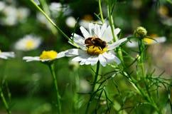蜂坐春黄菊 库存照片