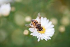 蜂坐雏菊 免版税图库摄影