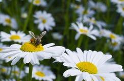 蜂坐雏菊 免版税库存图片