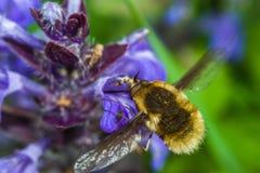 蜂子项的飞行例证 免版税库存图片