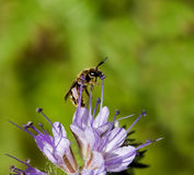 蜂孤零零花的phacelia 库存照片