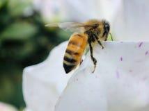蜂宏观射击在白花的 库存照片