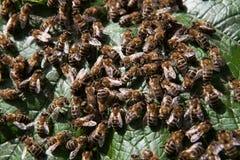 蜂家庭 库存照片