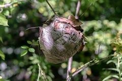 黄蜂巢 免版税库存照片